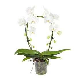 Witte orchidee Mirror Miracle(Phalaenopsis)