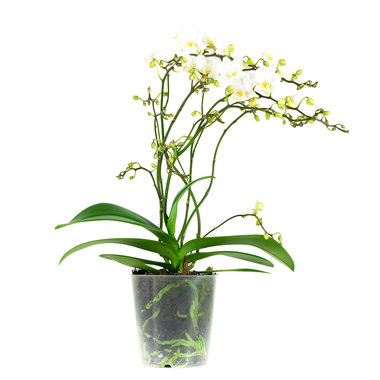 Phalaenopsis Multiflora Soft Cloud(PMSH04L0KS)