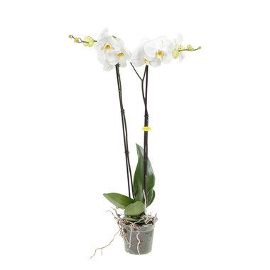 Witte orchidee Grandi-flora Wit(Phalaenopsis)