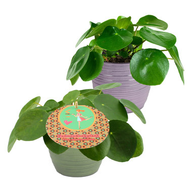 Duo Pilea Peperomioides(PILPEP12P)