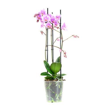 Phalaenopsis Multiflora Rosanna(PMRS03L0LL)